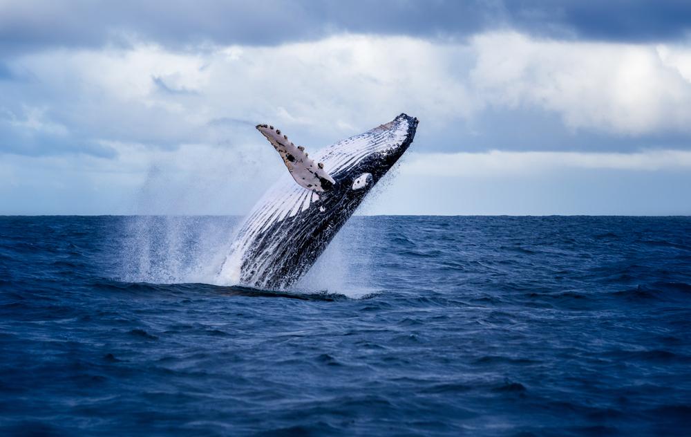 Salto de ballena azul durante un avistamiento en Akureyri