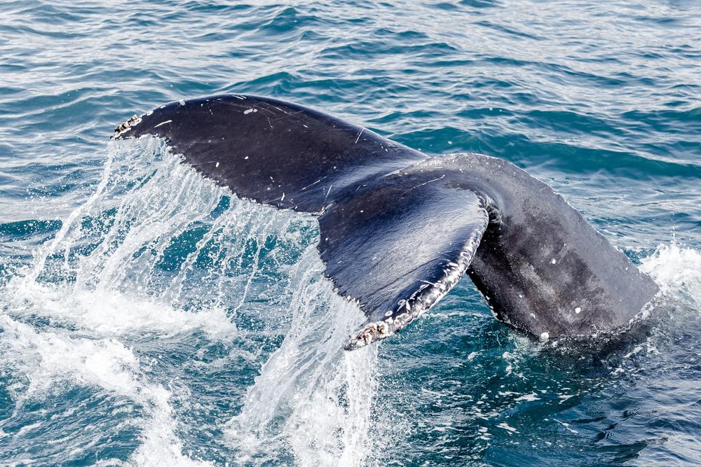 Cola de ballena azul chocando contra las aguas del mar del norte