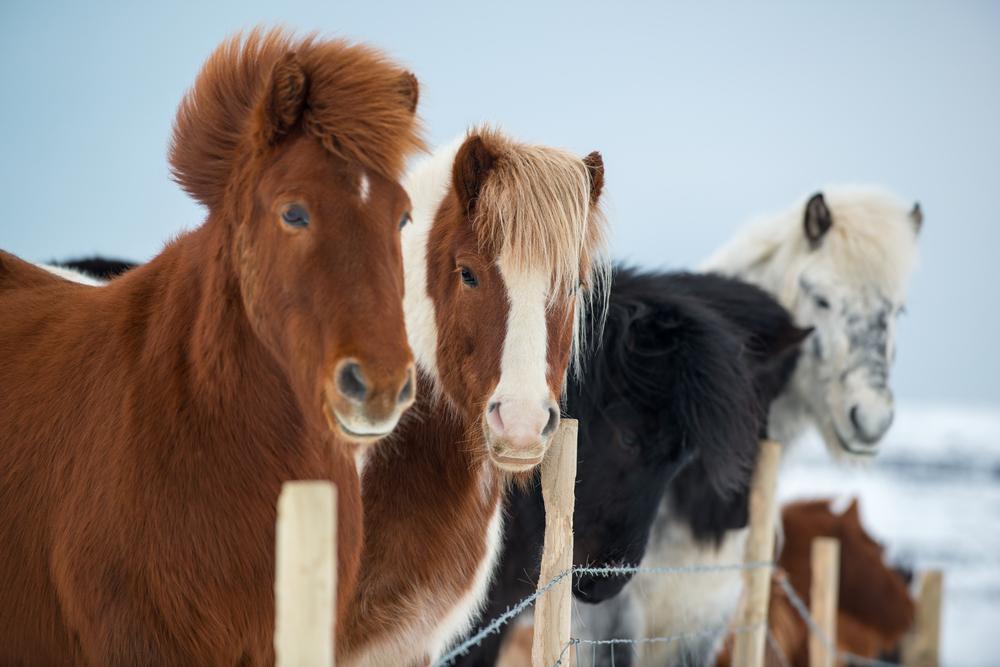 caballo-islandes-viento