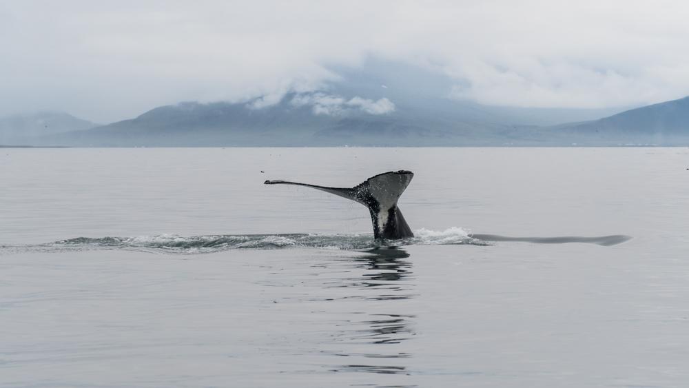 Avistamiento ballenas Reikiavik 24h
