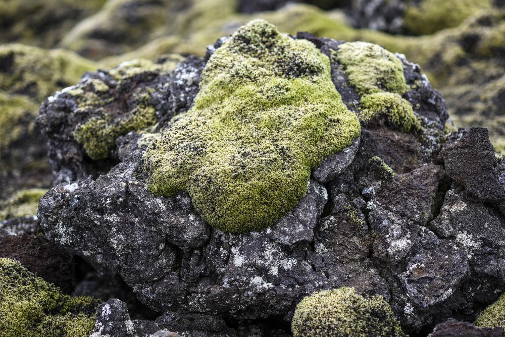 Musgo volcánico en el campo de lava de Eldhraun