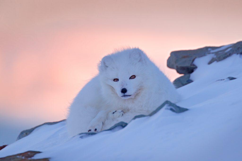 Zorro ártico blanco - Animales de Islandia – Cuáles son y dónde encontrarlos