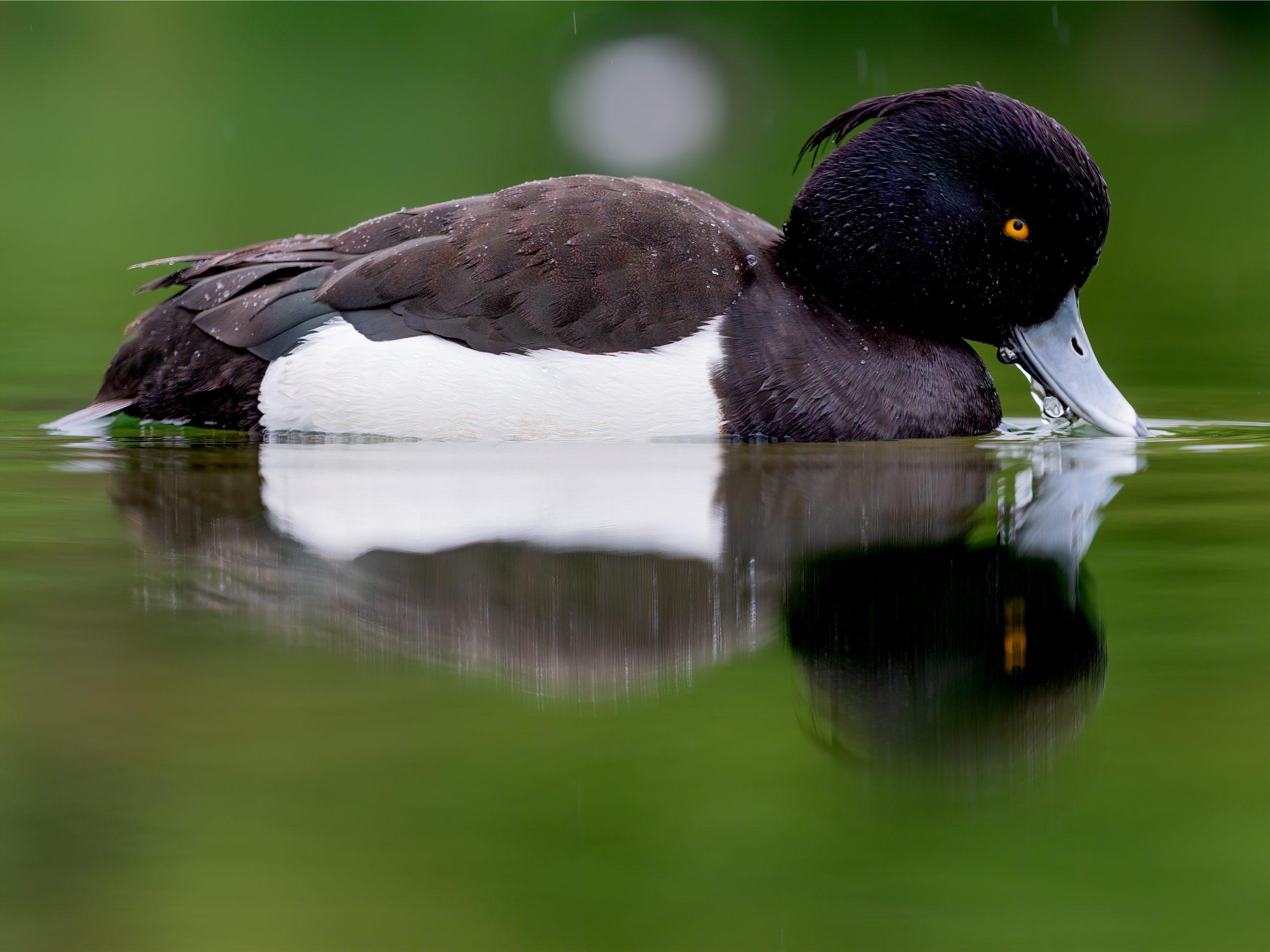 Pato Porrón Moñudo - Animales de Islandia – Cuáles Hay y Dónde Encontrarlos