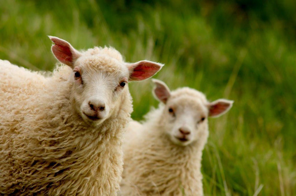 Oveja islandesa - Animales de Islandia – Cuáles son y dónde encontrarlos