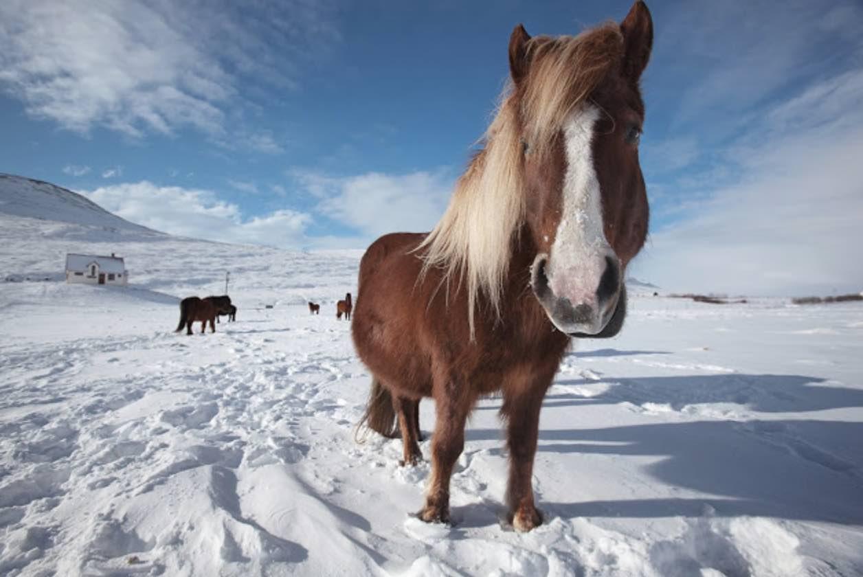origen del caballo en Islandia