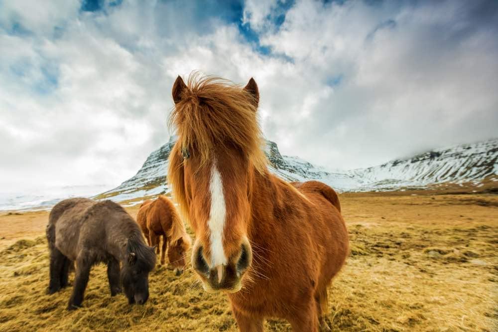 historial del caballo en Islandia