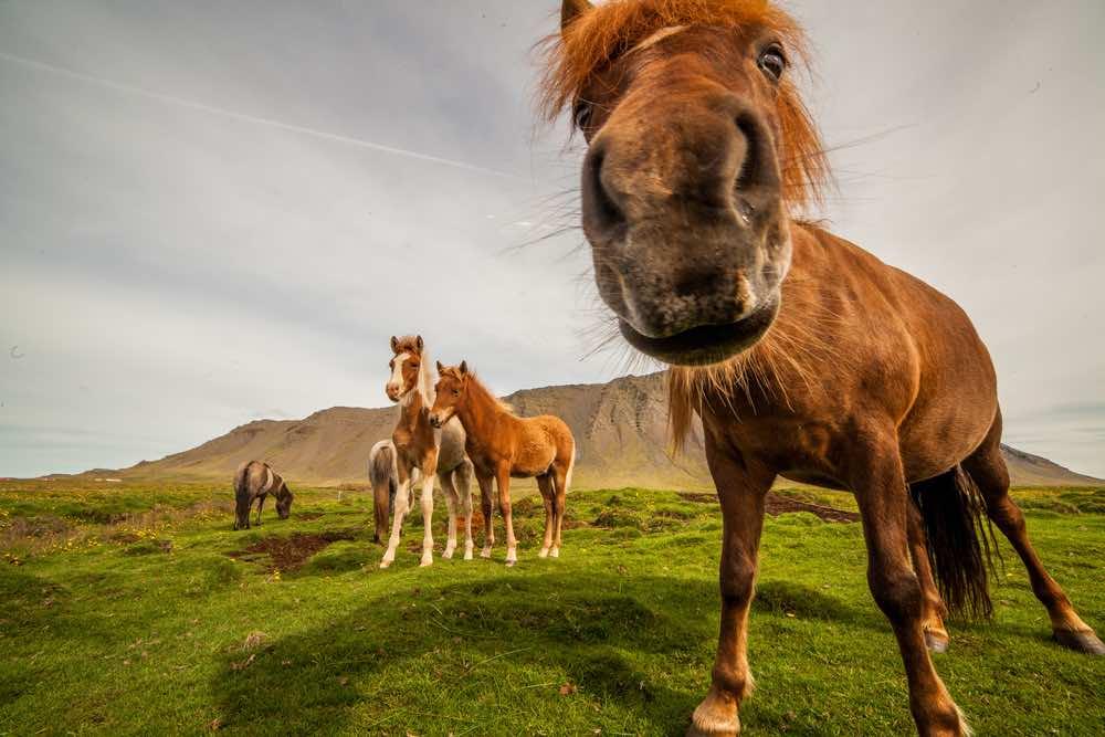 los caballos simpáticos islandeses